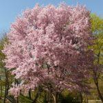 桜の木の下には○○が埋まってる!?その真相とは?なぜそんな噂が?