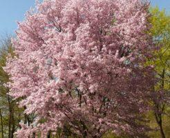桜、桜の木の下、死体、噂