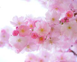 桜名所100選、日立さくらまつり、イベント情報