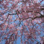 日中線記念自転車歩行者道のしだれ桜とは?桜ウォークイベント2018!