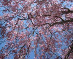 日中線記念自転車歩行者道、しだれ桜、桜ウォーク
