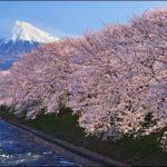 桜と富士山が一緒に見れる潤井川が見頃!ライトアップが美しすぎる!