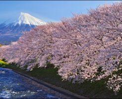 桜、富士山、潤井川、見頃、ライトアップ