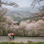豊臣秀吉も訪れた吉野山とは?日本一の桜の名所と言われる理由は?