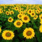 ひまわり畑の名所3選をご紹介!真冬に咲く日本一早いひまわりとは?