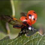 ヒラズゲンセイ(赤いクワガタ)の生態や危険性は?分布や毒について調査!
